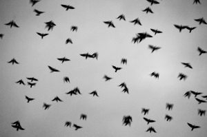 Bandada. Fotografía de ashraful kadir.