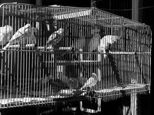 Pájaros en una jaula. Fotografía de James Savage.