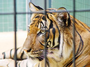Tigre en una jaula. Fotografía de Tambako The Jaguar.